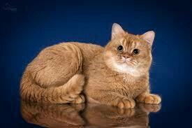 Рыжий котик красавец 6 месяцев приучен к лотку