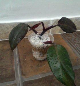 Комнатное растение. Эмеральд Ред филодендрон