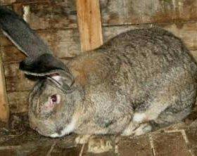 "Кролики породы ""Ризен"""