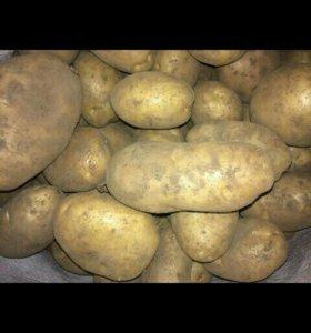 Картофель едовой,домашний.