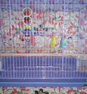 Продам двух волнистых попугаев с большой клеткой
