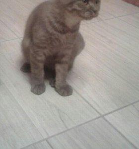 Кот мальчик Шотландский прямоухий 3,5 месяца