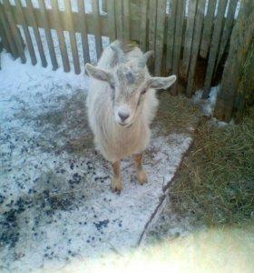 Продам козу 8 месяцев с.Лозовое