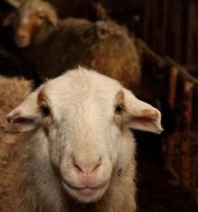Овцы (ярки) Курдючные, 12 мес. Суягные на племя