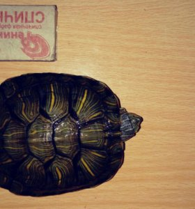 Черепаха красноухая больше 10 см