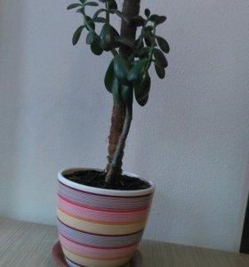 Толстянка, или денежное дерево