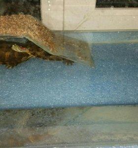 Аквариум и черепахи красноухие