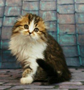 Кошечка Дусенька хайленд фолд