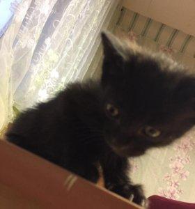 Котёнок бобтейла