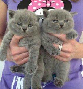 Очаровательные британские малыши- котик и кошечка