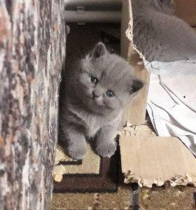 "Котята ""голубые британцы"""