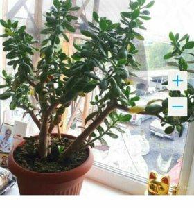Толстянка(денежное дерево)