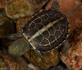 Редкая китайская трёхкилевая черепаха