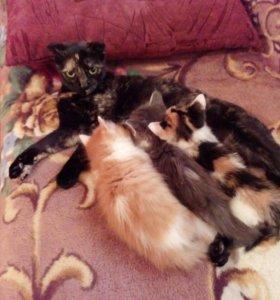Котята от шотландской кошечки)
