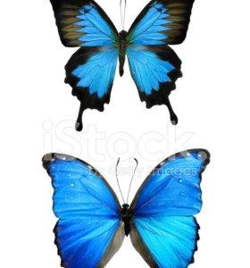 Яркие Живые Бабочки из Южной Америки Мексиканка