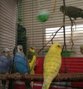 Продаются ручные птенцы волнистого попугая