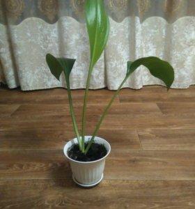 Эухарис (амазонская лилия)
