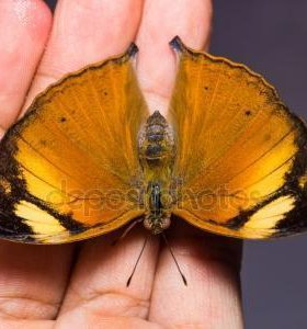 Яркие Живые Бабочки из ЮАР Gabriella