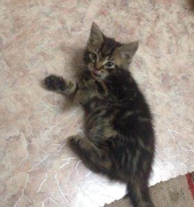 Шатланский кот