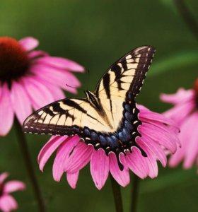 Тропические Живые Бабочки из ЮАР Мальвина Веросы