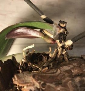 Двудетный фаленопсис с цветоносом