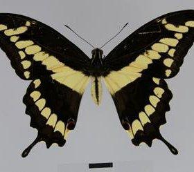 Экзотические Живые Бабочки из Таиланда