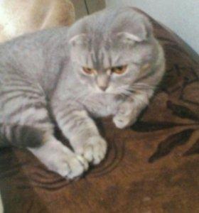 Отдам в добрые руки кошку шотландскую вислоухую.
