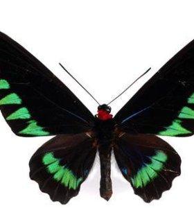 Экзотические Живые Бабочки из Пакистана Амфибия