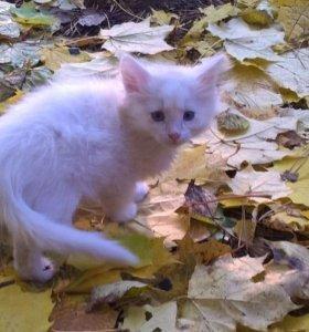 Белые ангорские котята