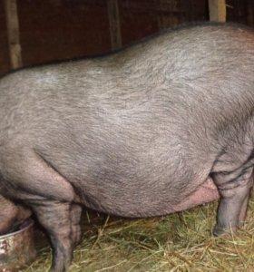 Продаю семью вислобрюхих свиней