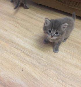 Котята в добрые руки кошка британка