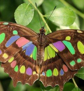 Экзотические Живые Бабочки из Непал Белый Ангел