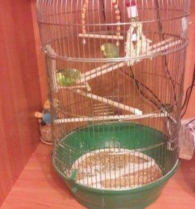 Пупугаи волнистики