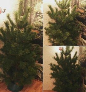 Сосны, елки с бесплатной доставкой по Жуковскому