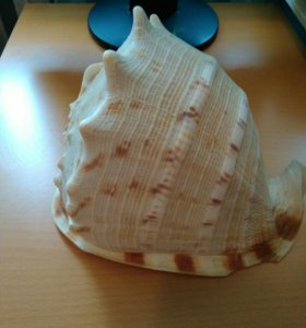 Ракушка морская, 25x17