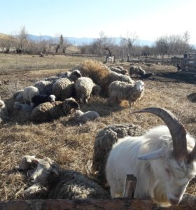 продам овец живым весом или мясом.