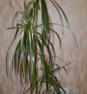 Драцена окаймленная комнатное растение
