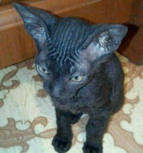 Продам котят Донского сфинкса.
