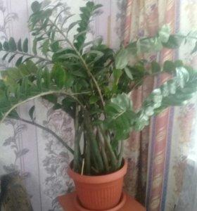 Продам цветок Замиокулькас