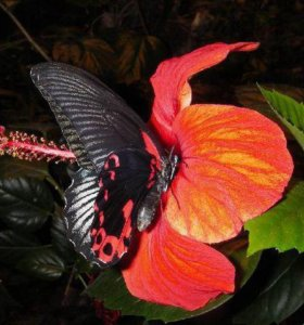 Яркие Живые Бабочки из Таиланда Брызки слонца