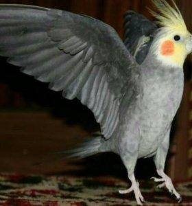 Попугай породы корелла