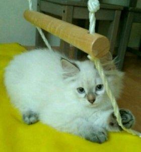 Невские котята