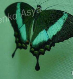 Яркие Живые Бабочки из Индонезии Мексиканка