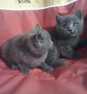 Кошечка клубная 1.5 месяца