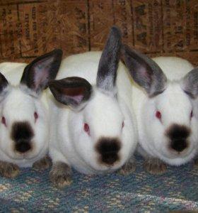 Кролики калифорнийцы.