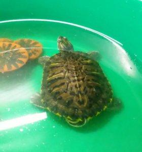 Две краснухи черепахи