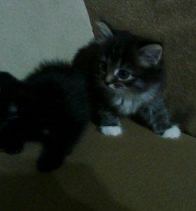 Два котёнка, отдам в добрые руки
