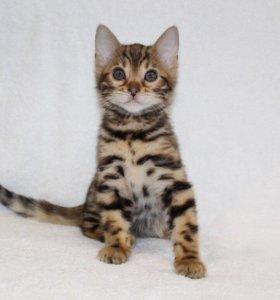 Бенгальский котёнок 2 месяца