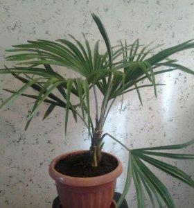Пальма из Сочи