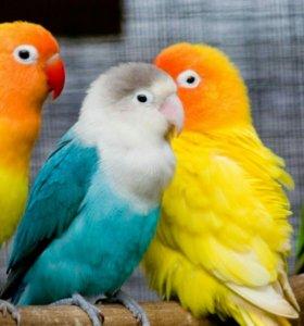 Возьму в подарок попугаев клетка не обязательна